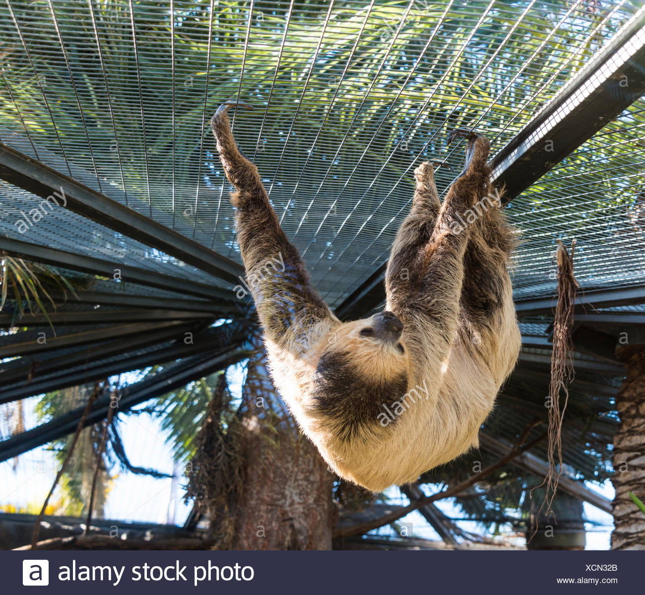 Linneo dos dedos cada sloth (Choloepus didactylus), cautiva Foto de stock