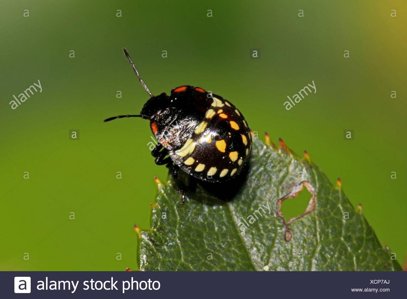 14-spot mariquita (Propylea quatuordecimpunctata), sentada sobre una hoja, Alemania Imagen De Stock