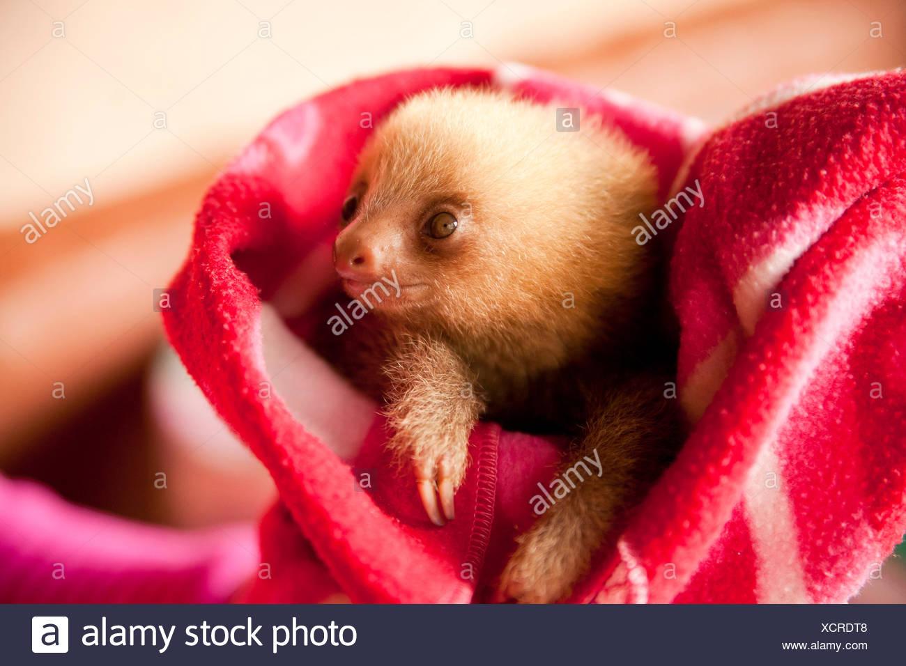Tres dedos cada-perezoso (Bradypus), joven en una manta, tucán Rescue Ranch, San Isidro de Heredia, Costa Rica, Centroamérica Foto de stock