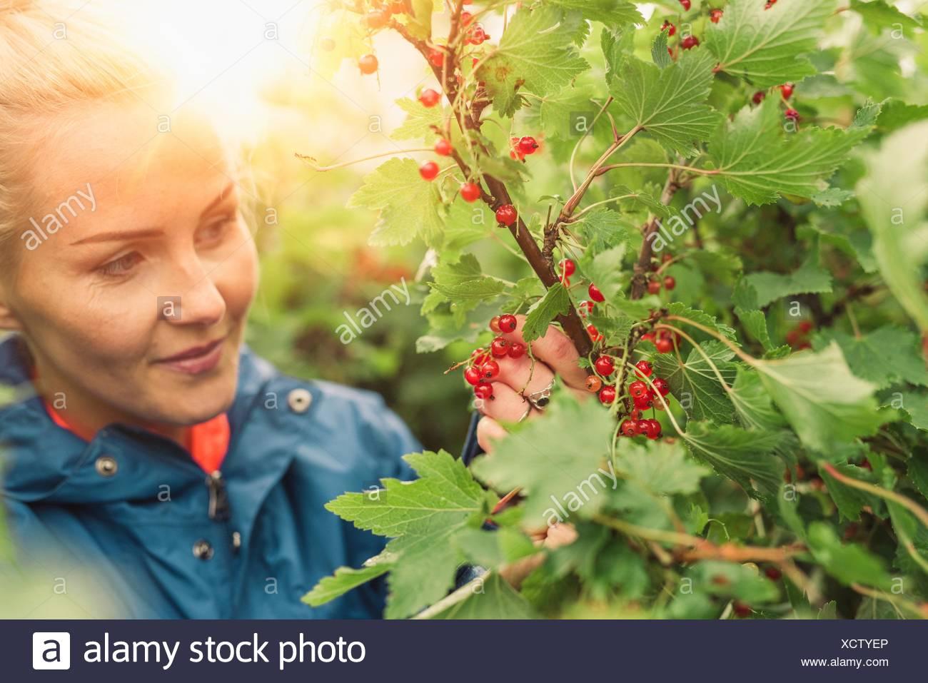 Mujer adulta media redcurrants recogida Imagen De Stock
