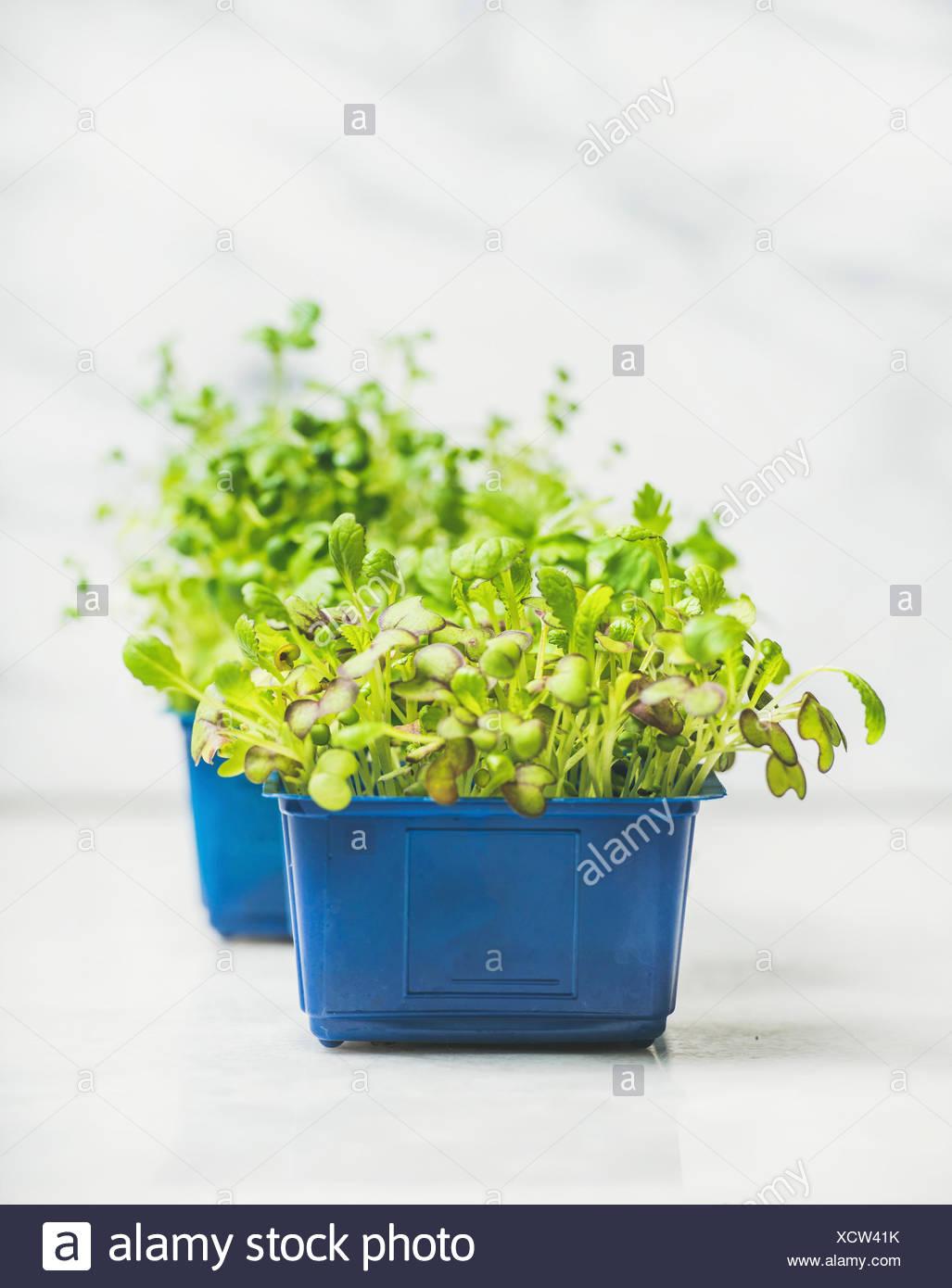 Primavera fresca verde berro rábano vivo brota en macetas de plástico azul sobre fondo de mármol blanco para comer sano, el enfoque selectivo, copie el espacio. Limpiar Imagen De Stock