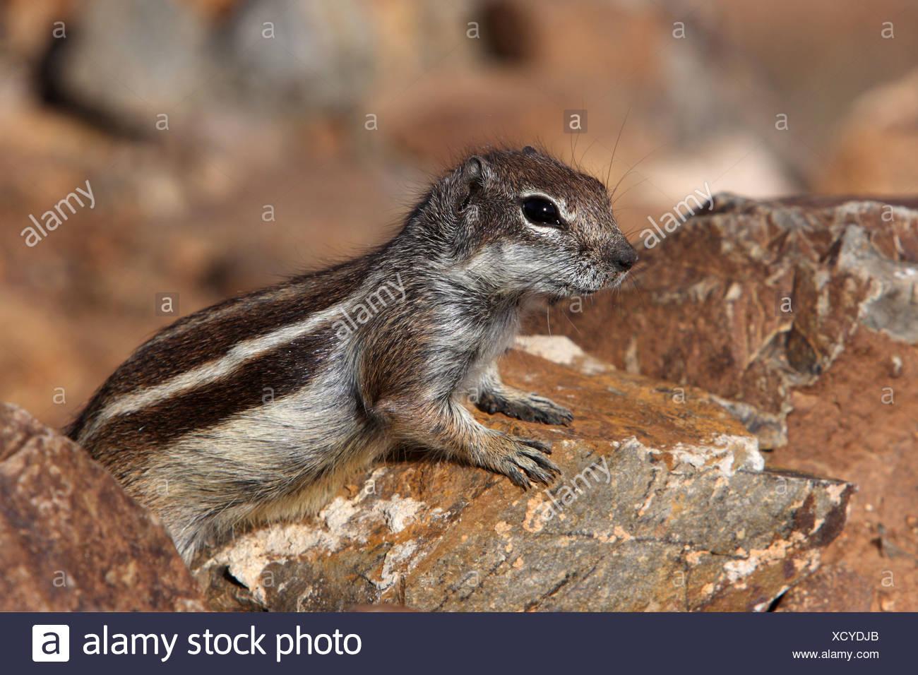 Suslik barbary, del norte de África suslik (Atlantoxerus getulus), sentado entre piedras, Fuerteventura, Islas Canarias Imagen De Stock