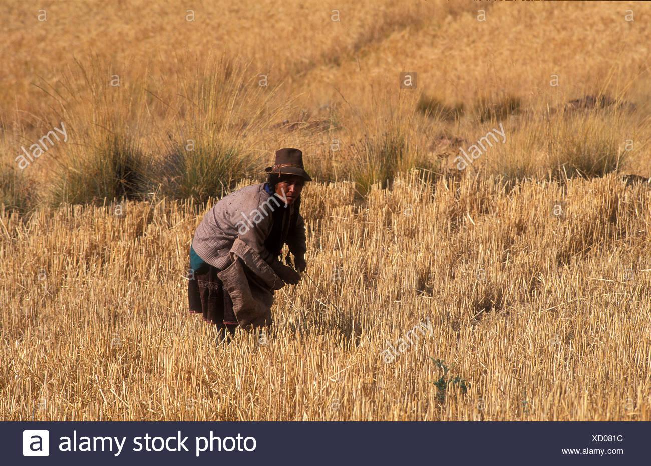Farmer, una mujer del pueblo indígena Quechua en el trabajo en su campo, Perú, América del Sur Imagen De Stock