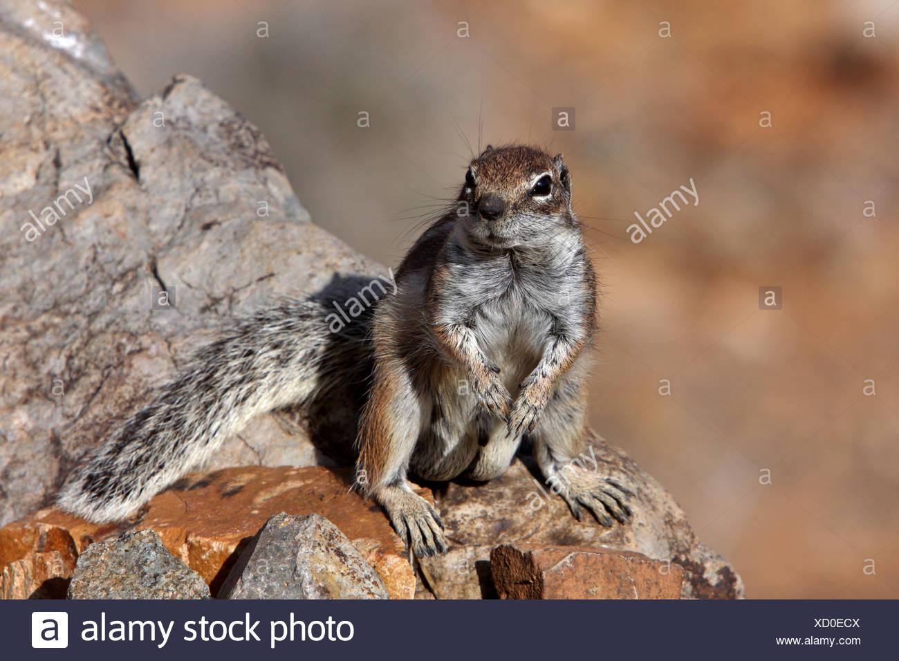 Suslik barbary, del norte de África suslik (Atlantoxerus getulus), sentado sobre una roca, islas Canarias, Fuerteventura, Islas Canarias Imagen De Stock