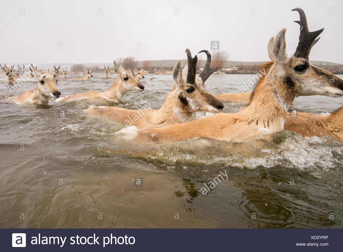 El antílope cruzar un río durante la migración en Wyoming. Imagen De Stock