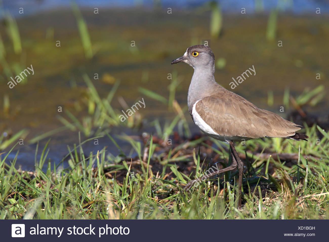 Senegal patinegro (Vanellus lugubris), se encuentra en aguas poco profundas, Sudáfrica iSimangaliso Wetland Park Imagen De Stock