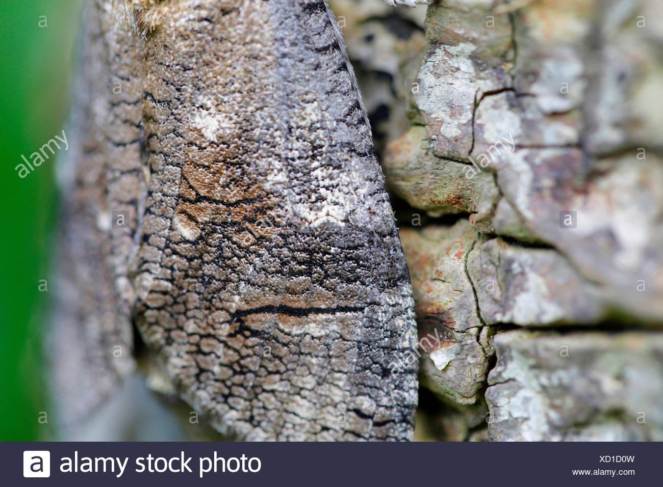 Cossus cossus cabra (polilla), patrones de ala, detalle, Alemania, Baviera Imagen De Stock