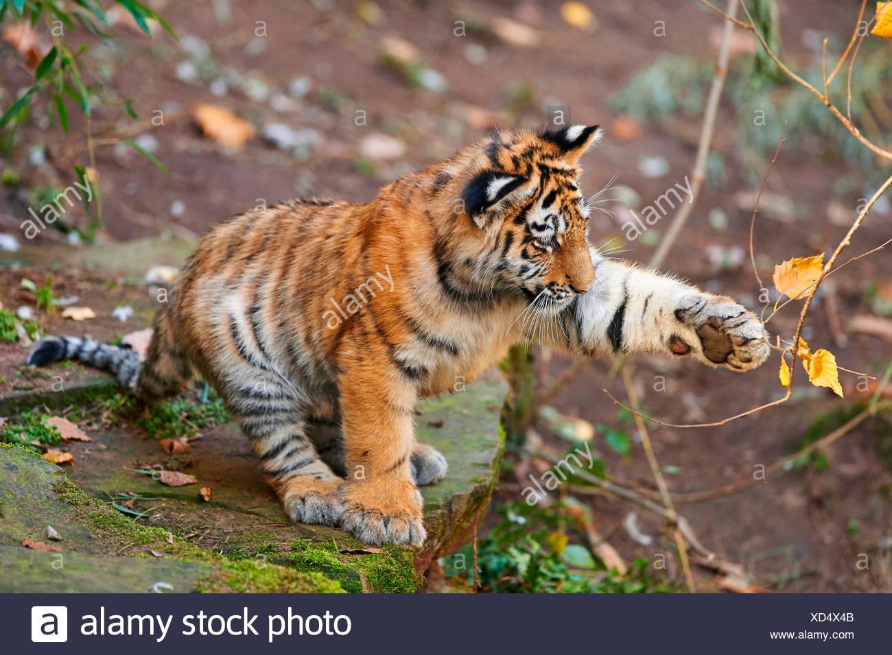 Tigre siberiano, Amurian tigre (Panthera tigris altaica), Tiger Cub jugando con una ramita Imagen De Stock