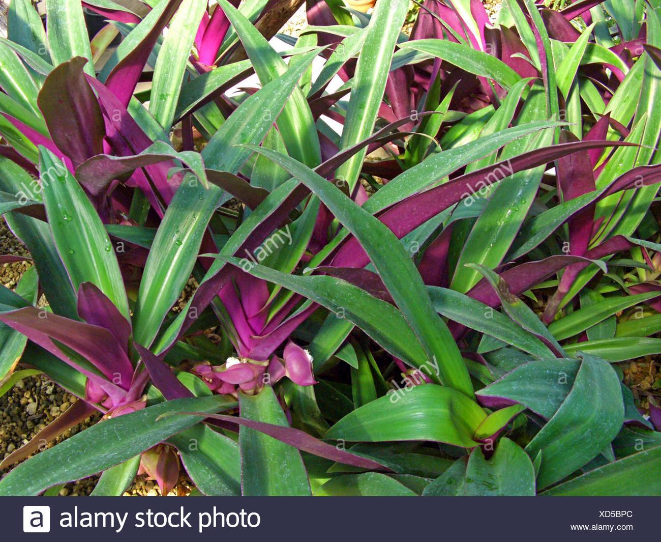 Moisés-en-la-cuna, planta de ostras, Rhoeo (Rhoeo spathacea, Tradescantia spathacea), floreciendo Imagen De Stock