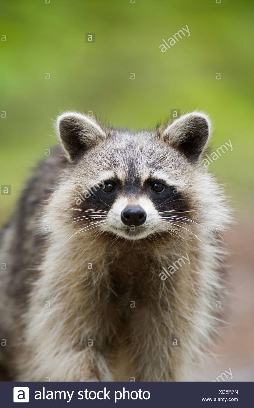 Comunes de mapache (Procyon lotor), Killarney Provincial Park, Ontario, Canadá Imagen De Stock