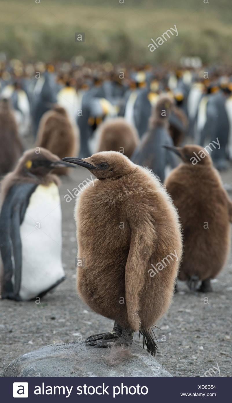 Pingüinos rey juvenil de pie en un grupo grande junto a la playa. Foto de stock