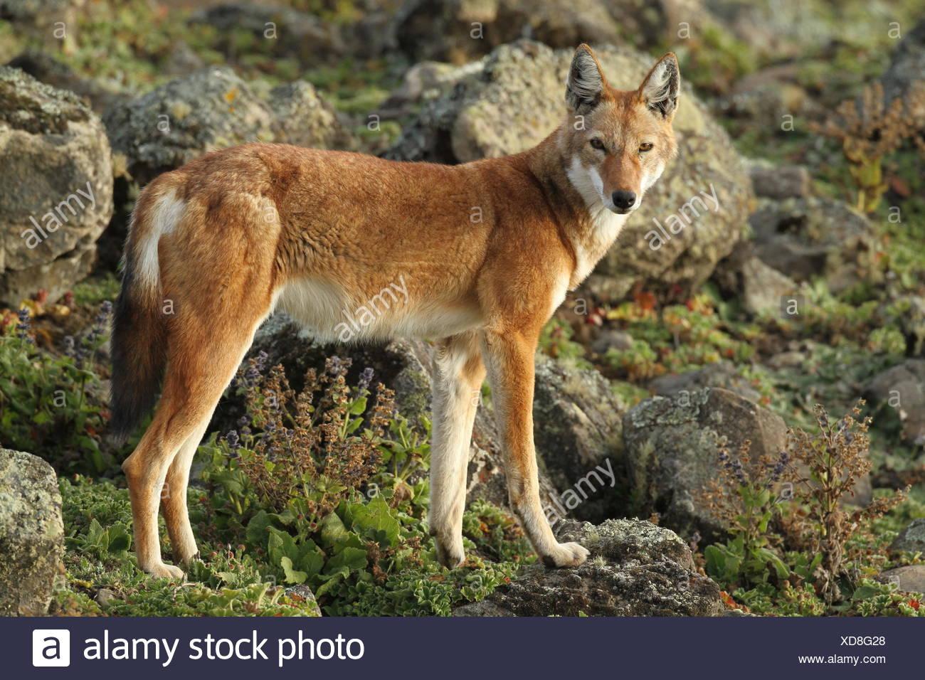 Una alerta,Canis simensis Lobo etíope,se encuentra en el Parque Nacional de las montañas Bale. Imagen De Stock
