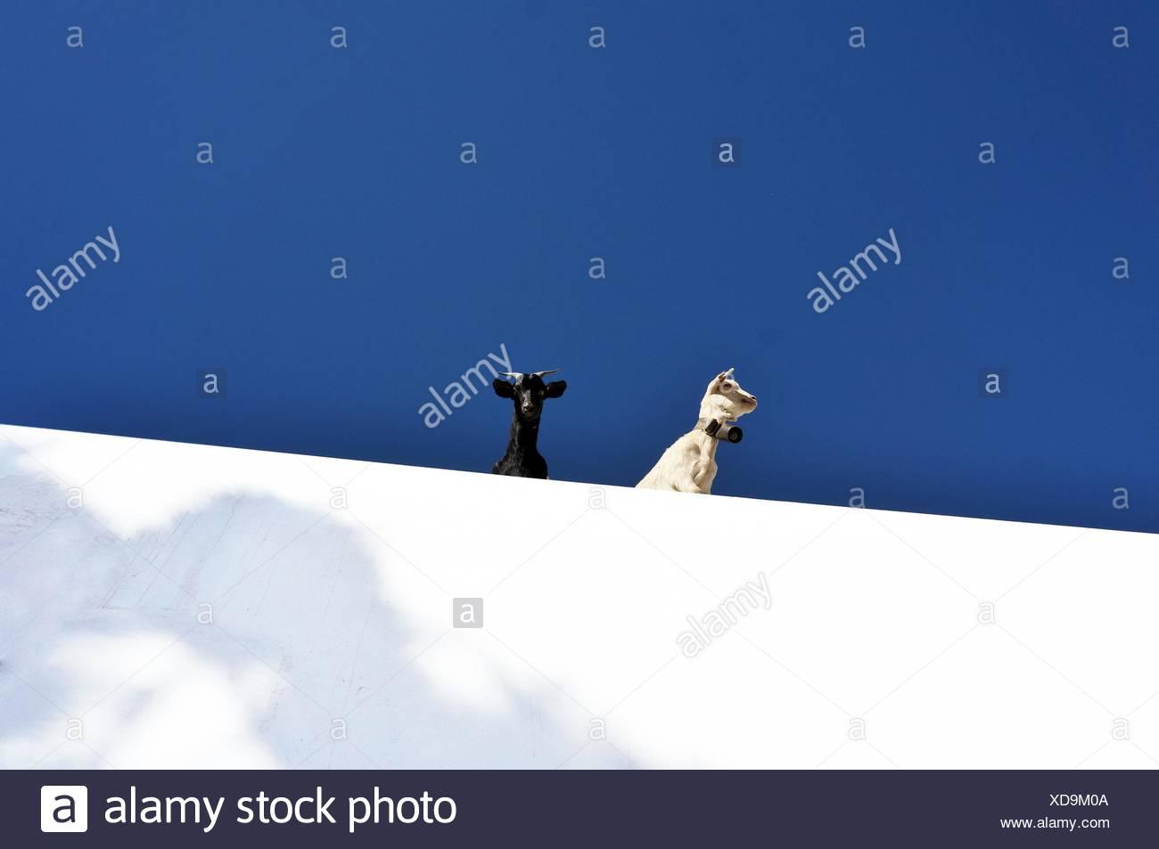Dos cabras de Cerro Nevado Foto de stock
