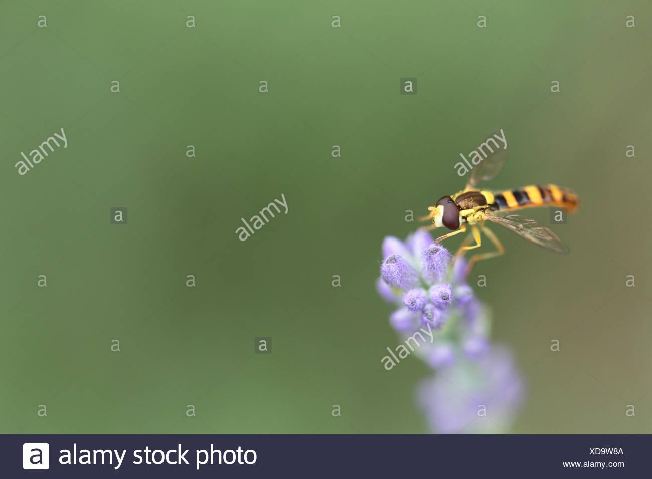 Sirfide, a veces llamado flor syrphid moscas o moscas, componen el insecto familia Syrphidae. Se ven a menudo flotando o nectaring en flores. Esta es una flor de lavanda Lavandula angustifolia. Imagen De Stock