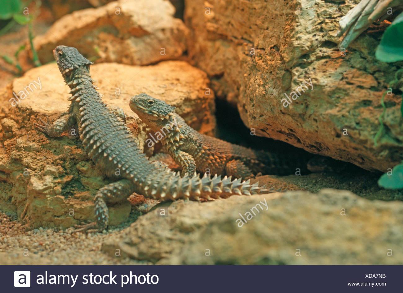 Sungazer, rodeado gigante lagarto gigante, gigante lagarto spinytail zonure (Cordylus giganteus), dos reptiles sentados juntos entre piedras Imagen De Stock