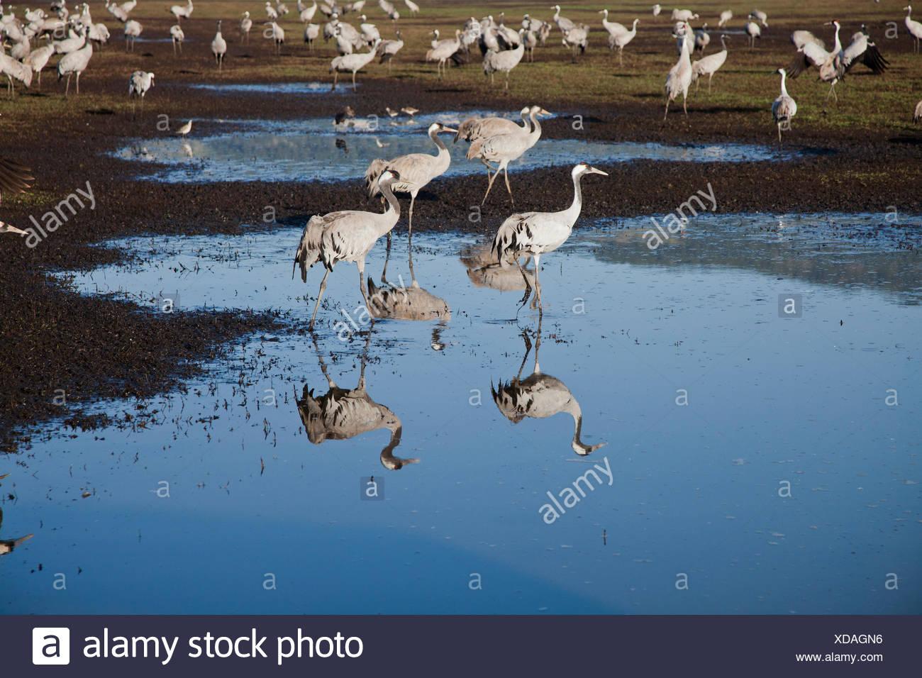 Grulla común (grus grus) una bandada en pantanos, valle de hula, Israel. Grúa de grandes especies migratorias que vive en prados húmedos y ma Foto de stock