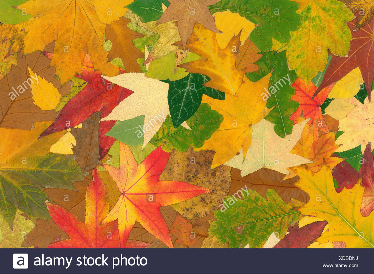 Maple Leaf Wallpaper Estacional Follaje Deja Caer La Textura
