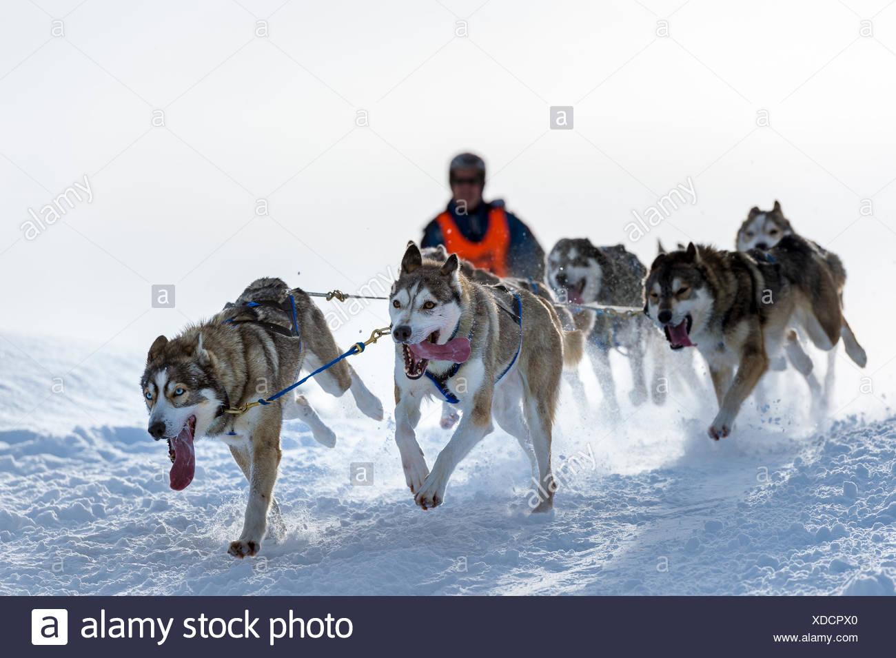 Sled Dog racing, equipo de perros de trineo en invierno el paisaje, Unterjoch, Oberallgäu, Baviera, Alemania Imagen De Stock