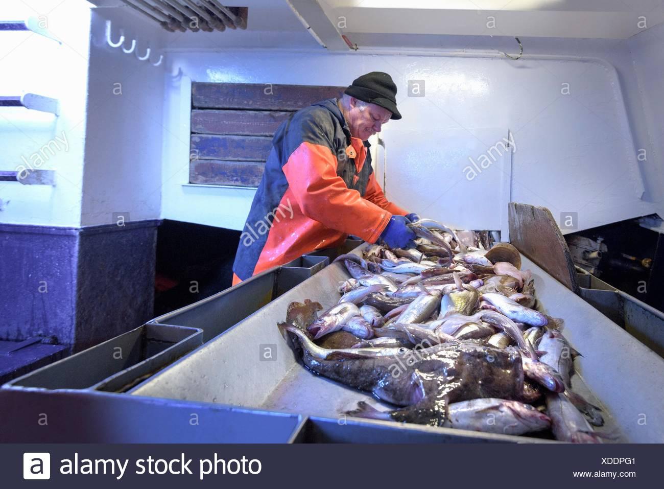 Pescador clasificando pescado en el arrastrero Foto de stock