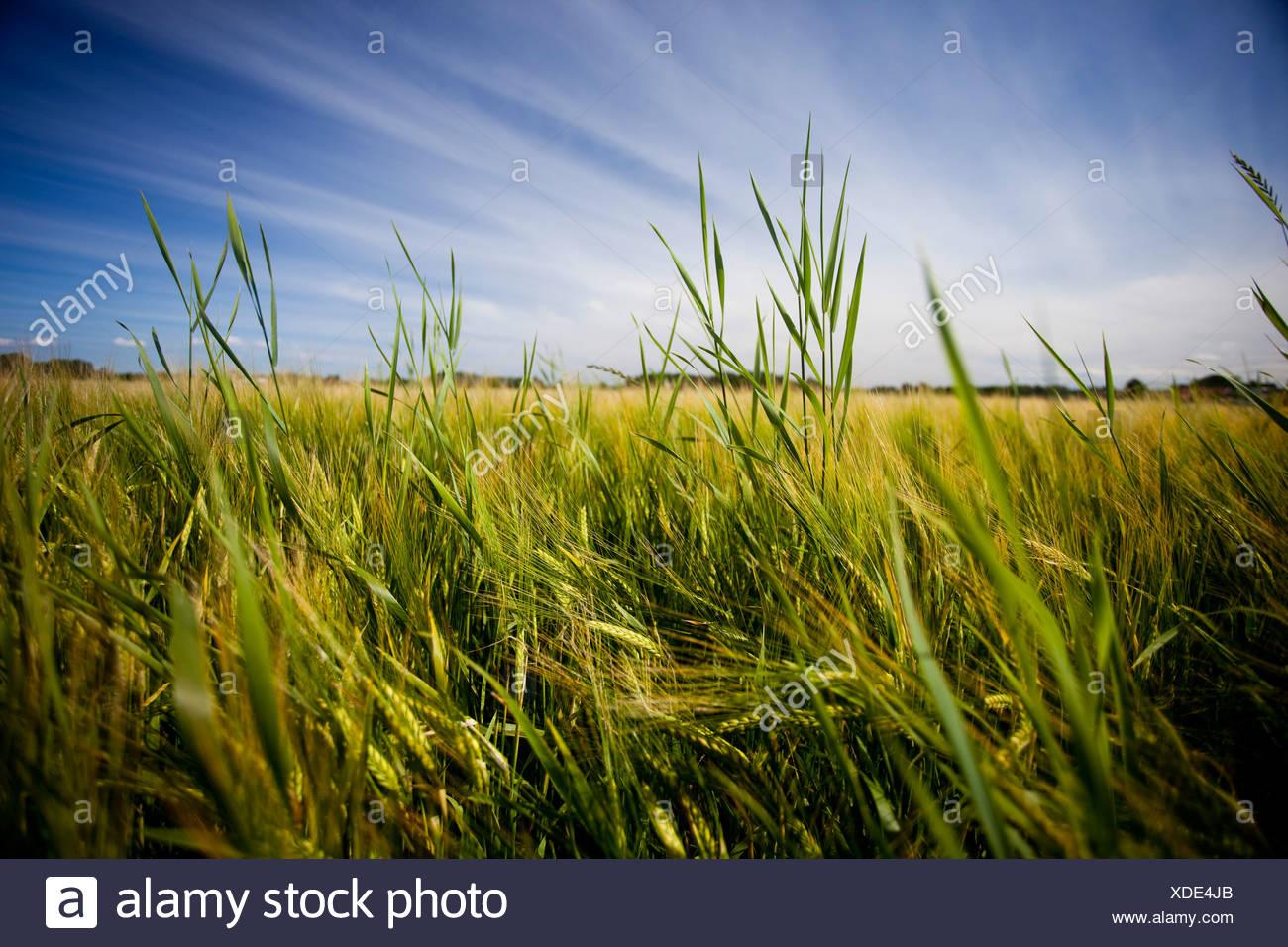 Campo en el viento Imagen De Stock