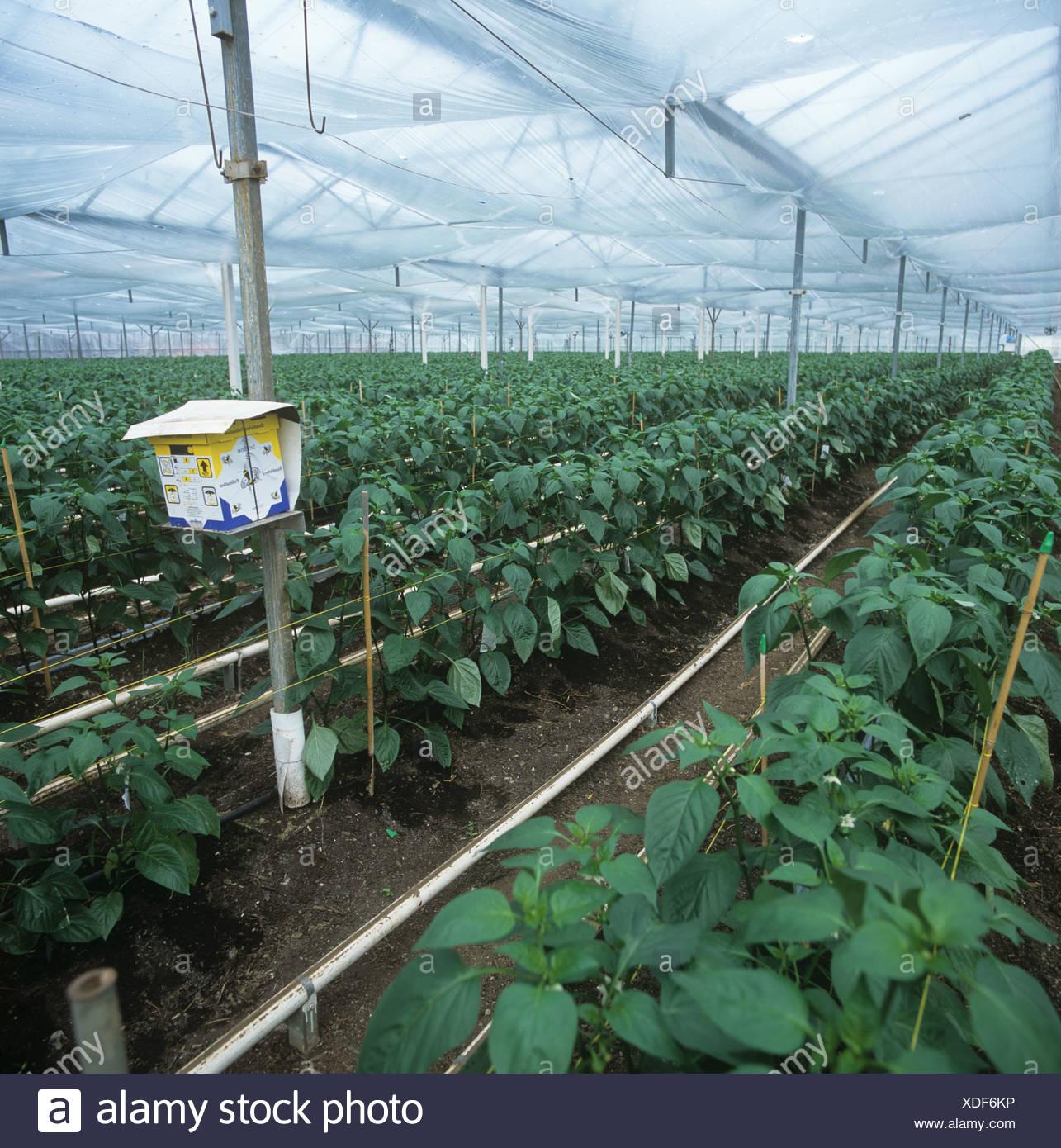 Bumblebee cuadro orgánico comercial en pimiento en cultivo en invernadero Imagen De Stock