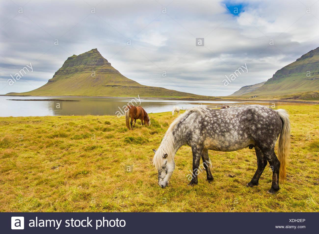 Caballos que pastan en un prado cerca de la montaña Kirkjufell, sobre la costa de Islandia. Imagen De Stock