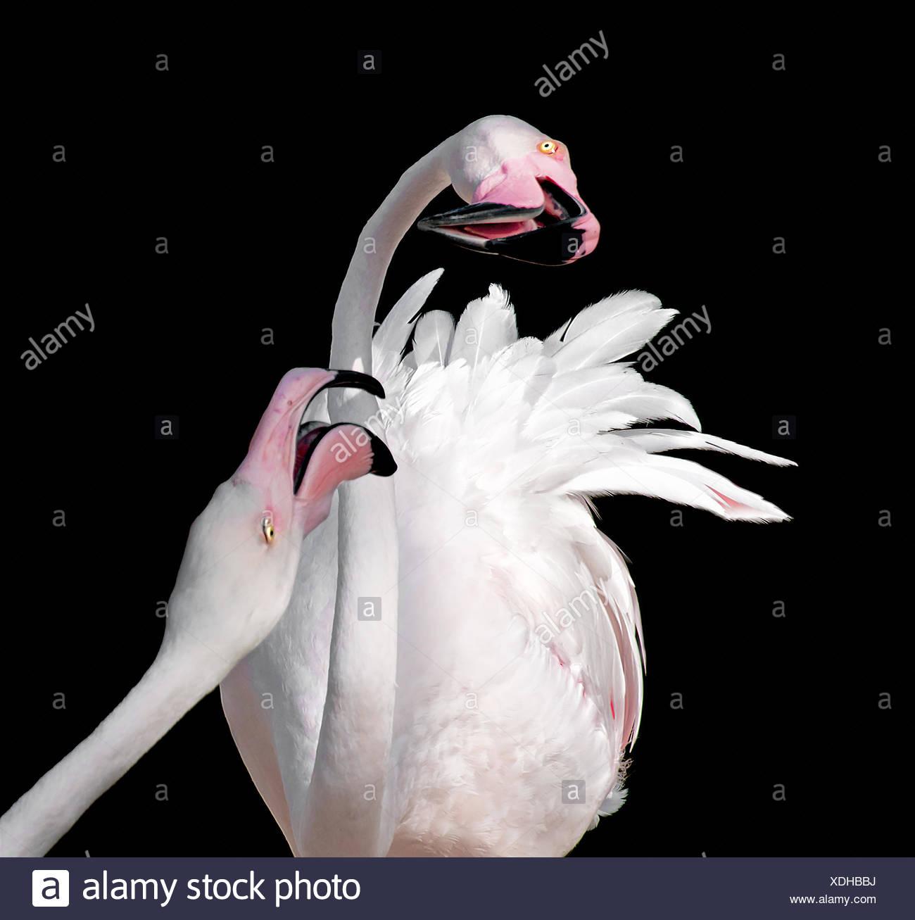 Dos flamencos (Phoenicopteridae) contra el fondo negro Imagen De Stock