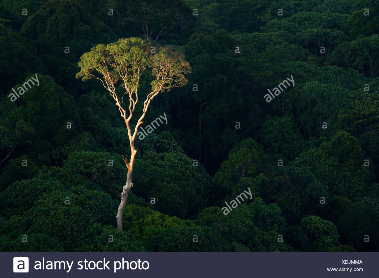Árbol Menggaris emergentes sobresaliendo del dosel del bosque Dipterocarp de tierras bajas. Corazón del valle Danum, Sabah, Borneo. Imagen De Stock