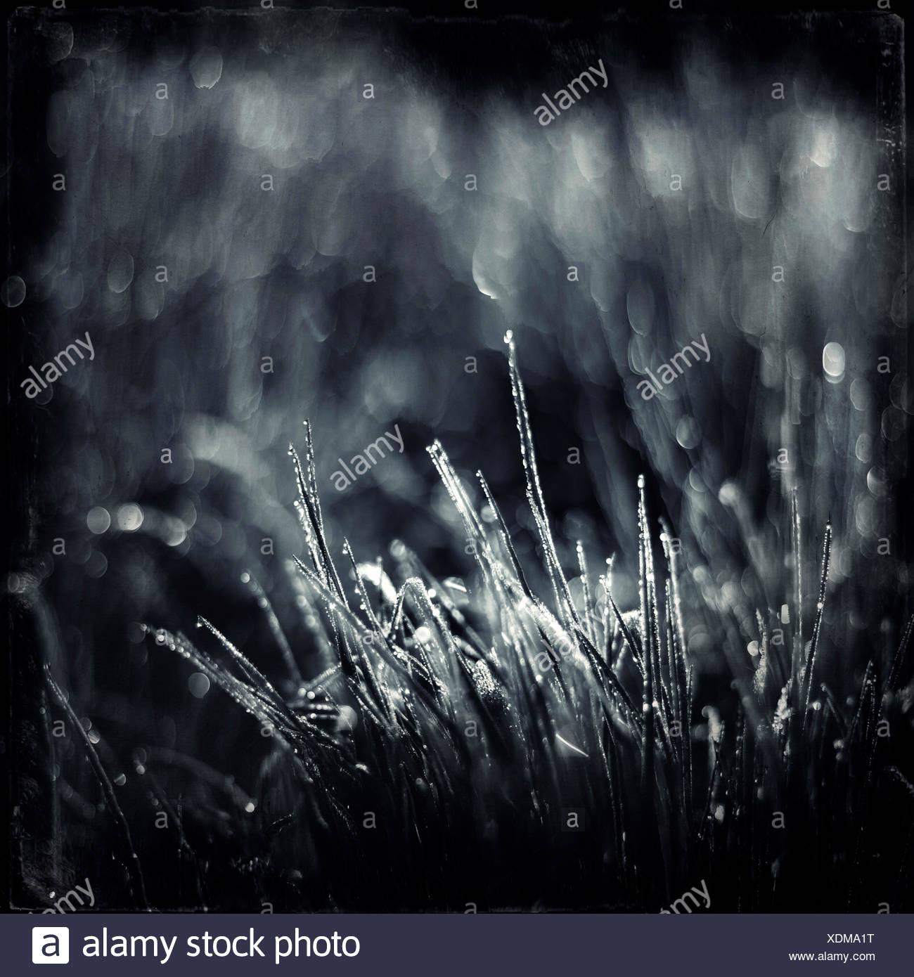 Rocío en láminas de césped en la luz de la mañana, monocromo Imagen De Stock
