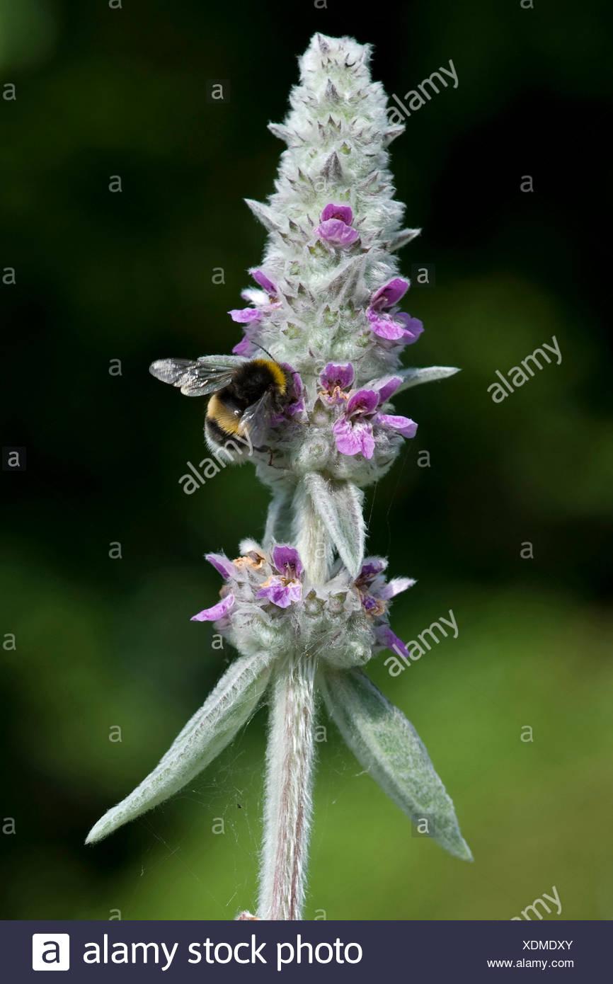 Cordero lanudo's ear (Stachys byzantina), inflorescencia con humilde bee Imagen De Stock