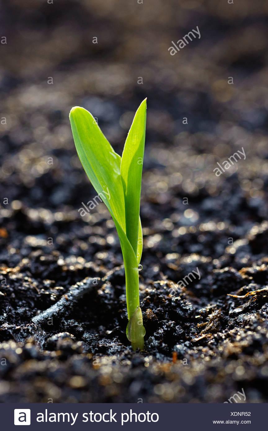 Agricultura - una plántula de maíz surge de la tierra en las primeras horas de la mañana de luz / Iowa, EE.UU. Imagen De Stock