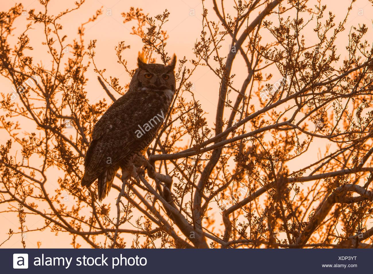 Gran búho cornudo (Bubo virginianus), sentada en un árbol al atardecer, Arizona, EE.UU. Foto de stock