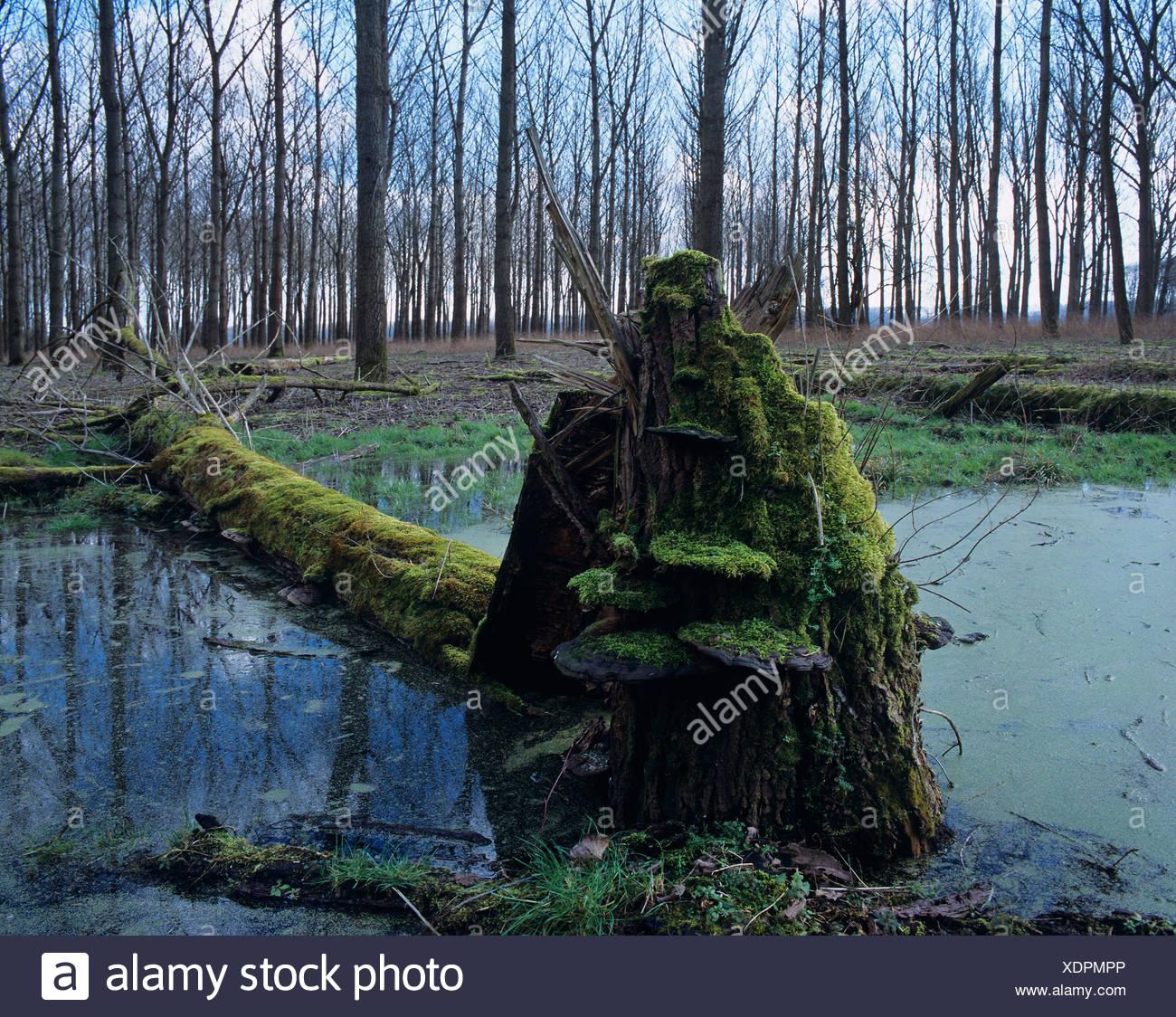 La madera que yacía muerto en un humedal, lenteja de agua (Lemna) en el agua, soporte hongos (Fomitopsis) alrededor de la zona de la raíz Imagen De Stock