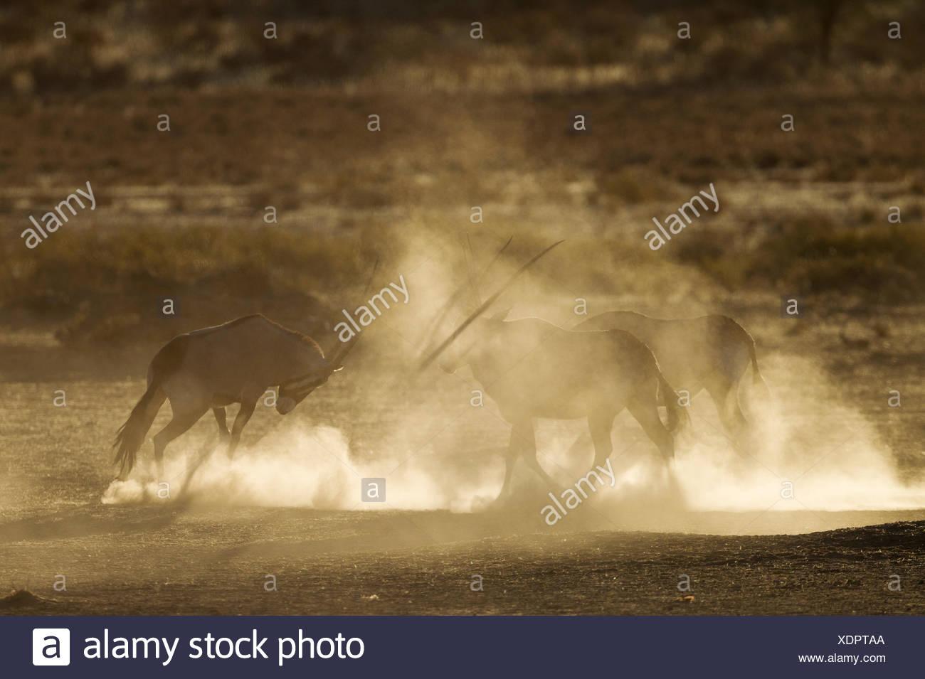 Gemsboks (Oryx gazella), nervioso y levantando un montón de polvo en las primeras horas de la mañana, el desierto de Kalahari, el parque transfronterizo Kgalagadi Imagen De Stock