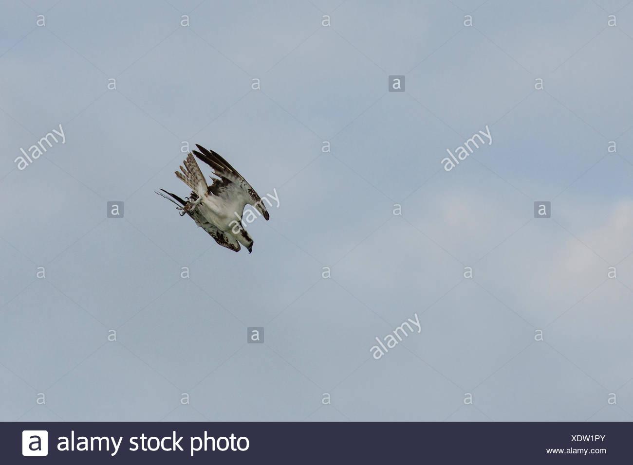 El águila pescadora (Pandion haliaetus halcón de pescado), nariz de buceo, Florida, EE.UU. Foto de stock