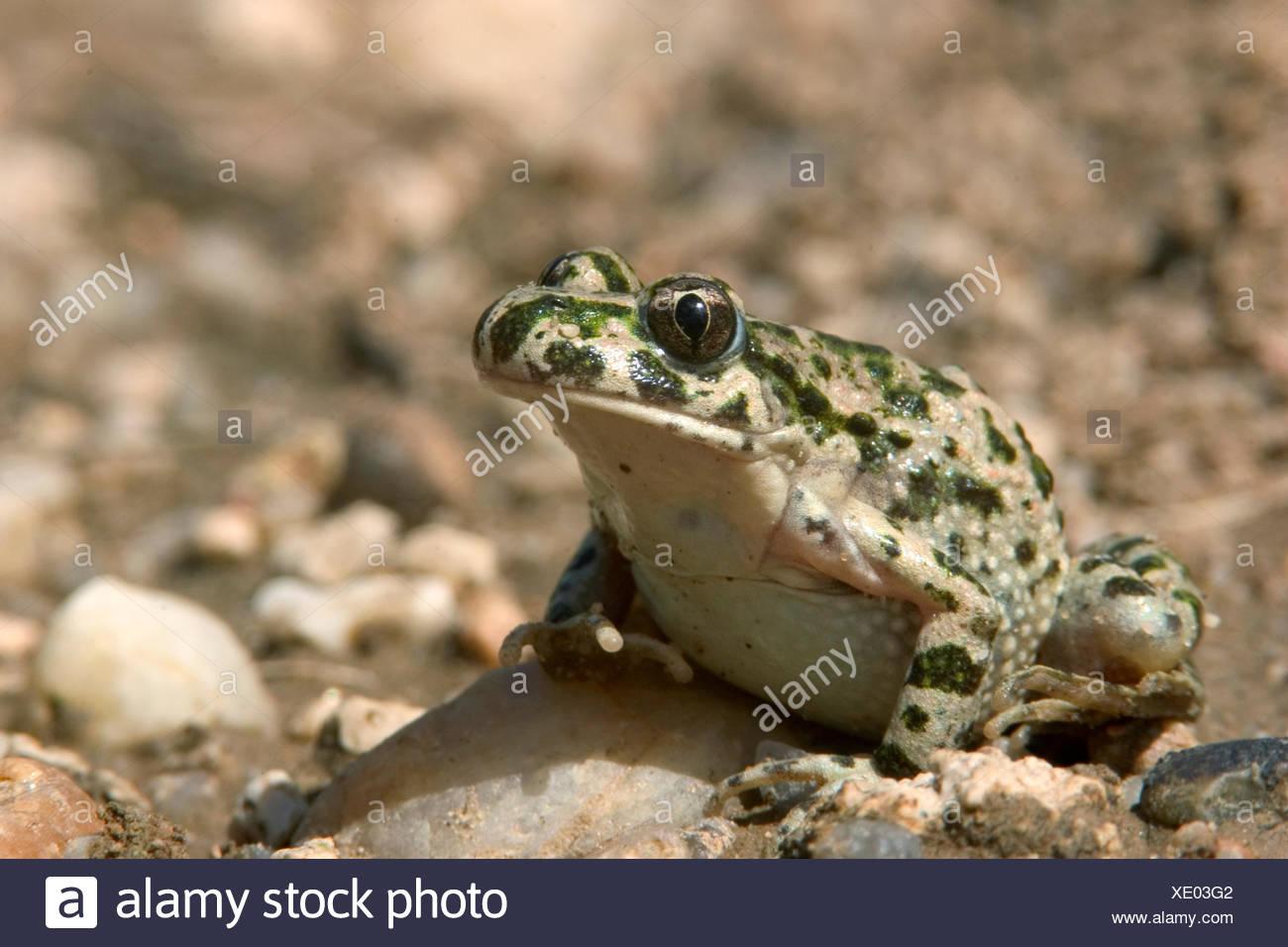Imagen de una rana de perejil en grava Imagen De Stock