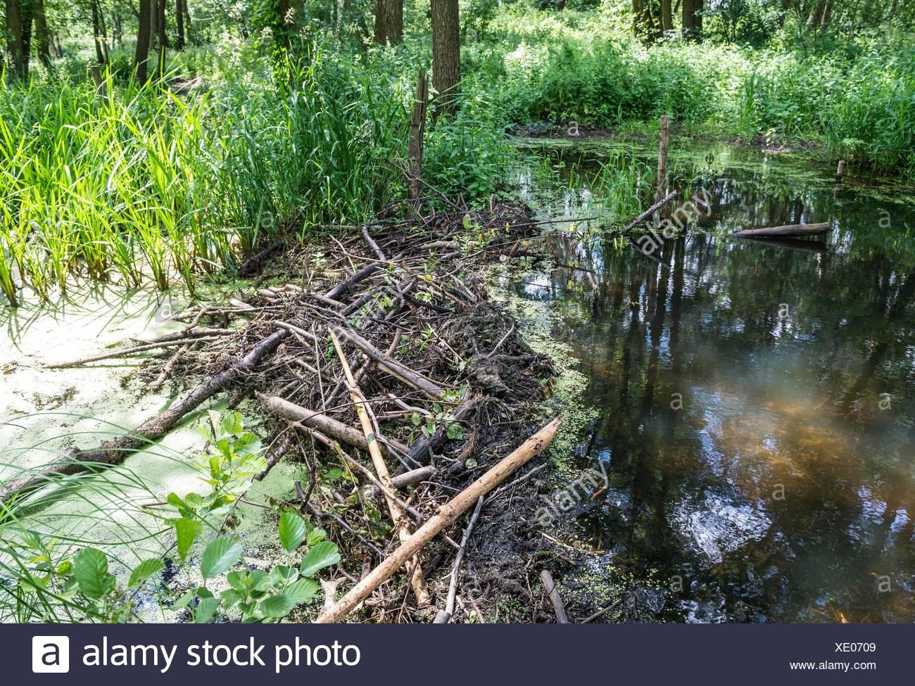 Castores presa en un arroyo en la región de Mazovia, Polonia. Imagen De Stock