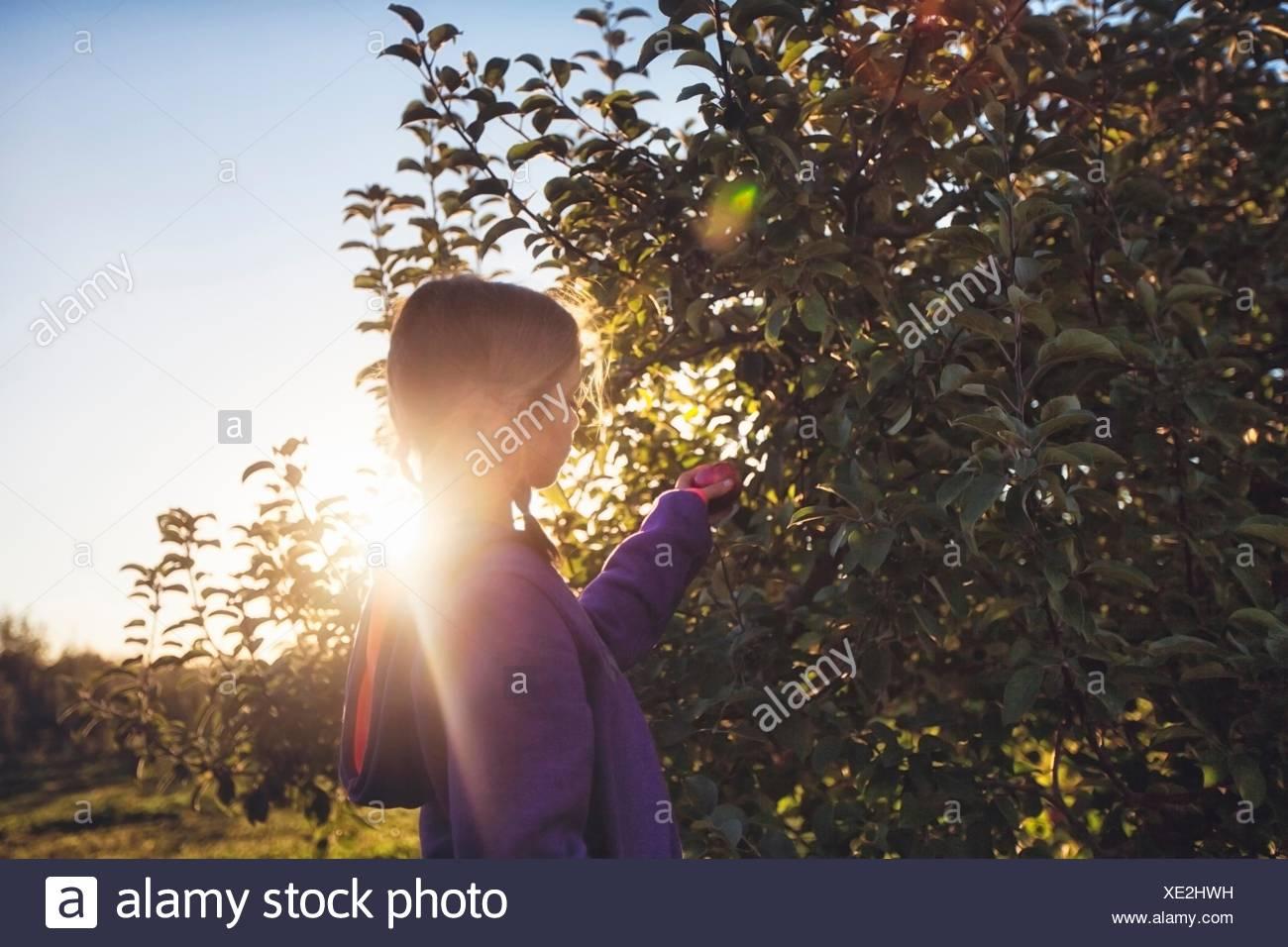 Vista lateral de la chica en huerto recogida desde Apple tree Imagen De Stock