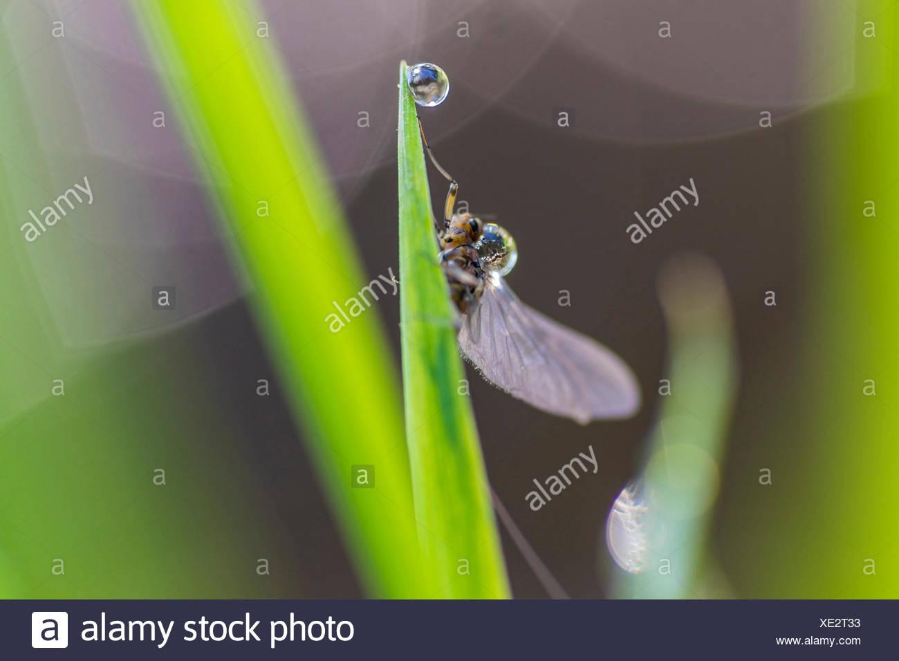 Insecto en una hoja con una gota de agua, Alemania, Sajonia, Vogtlaendische Schweiz Imagen De Stock