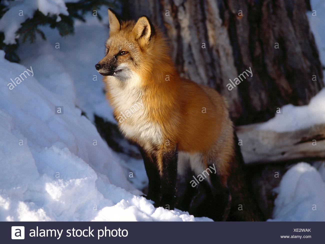 Ee.Uu. montana. Wildlife. zorro rojo en la nieve. Imagen De Stock