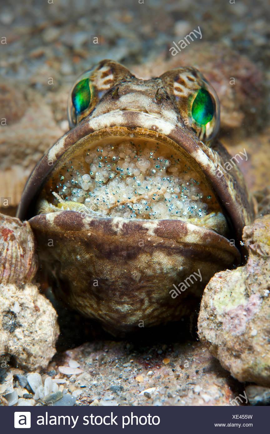 Jawfish anillados (Opistognathus macrognathus) macho incubando huevos en la boca, que están en una fase avanzada de desarrollo y pronto estará listo para su lanzamiento. West Palm Beach, la Corriente del Golfo, el Atlántico occidental (Florida, Estados Unidos. Imagen De Stock
