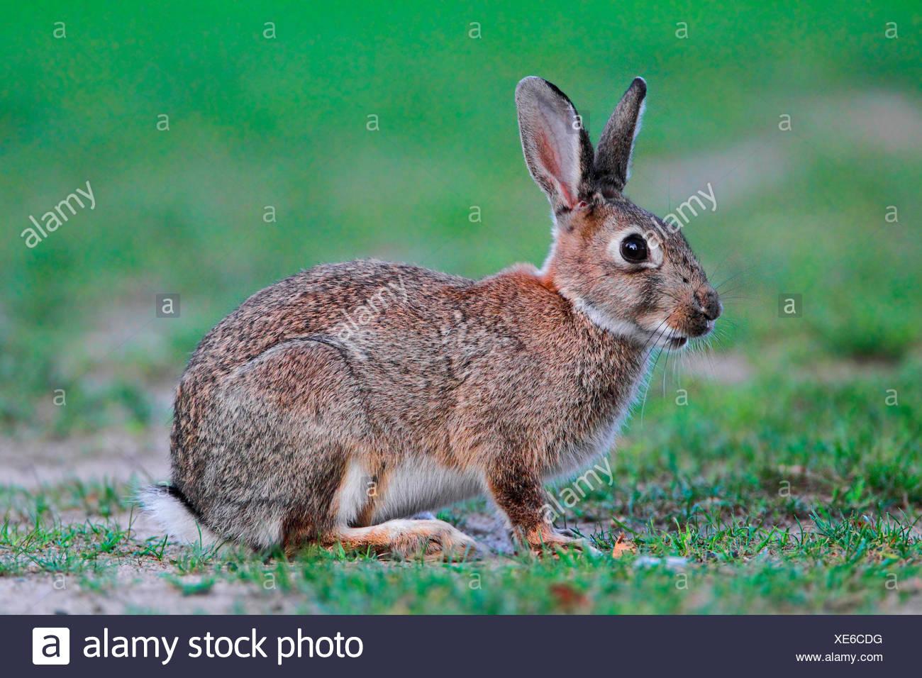 Conejo europeo (Oryctolagus cuniculus), conejo sentado en una pradera, Alemania Imagen De Stock