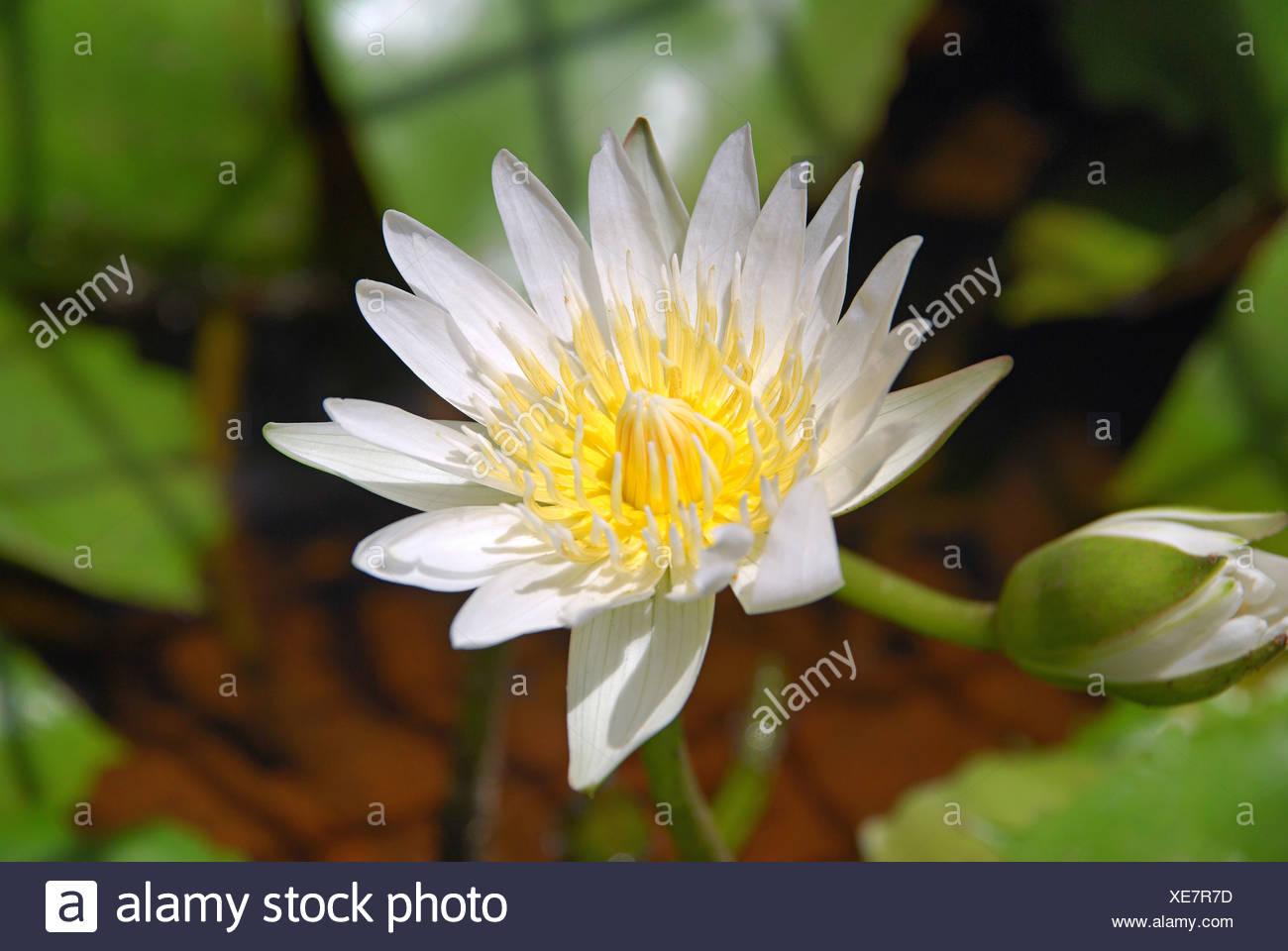 Loto Blanco O Nymphaea Lotus Flor De Loto Es La Flor Nacional De La