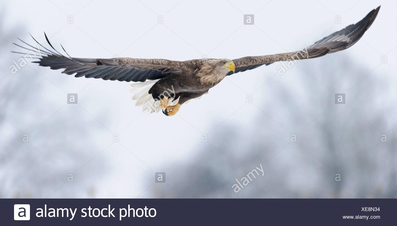 El águila de cola blanca (Haliaeetus albicilla), feldberger seenlandschaft, Mecklenburg Vorpommern-, Alemania Foto de stock