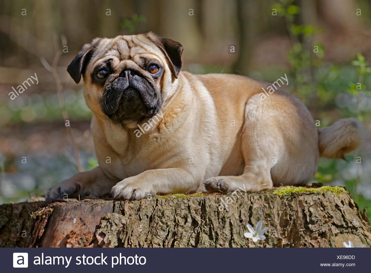 Pug acostado en tronco de árbol, Schleswig-Holstein, Alemania Imagen De Stock