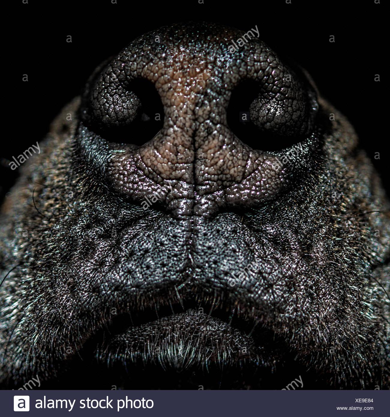 Cerca de la nariz del perro Imagen De Stock