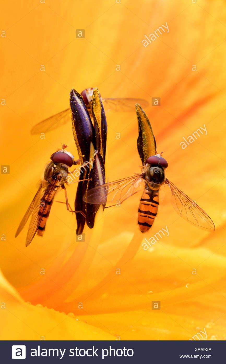 Marmalade hoverfly (Episyrphus balteatus), dos sirfide en un lirio flor, Alemania Foto de stock