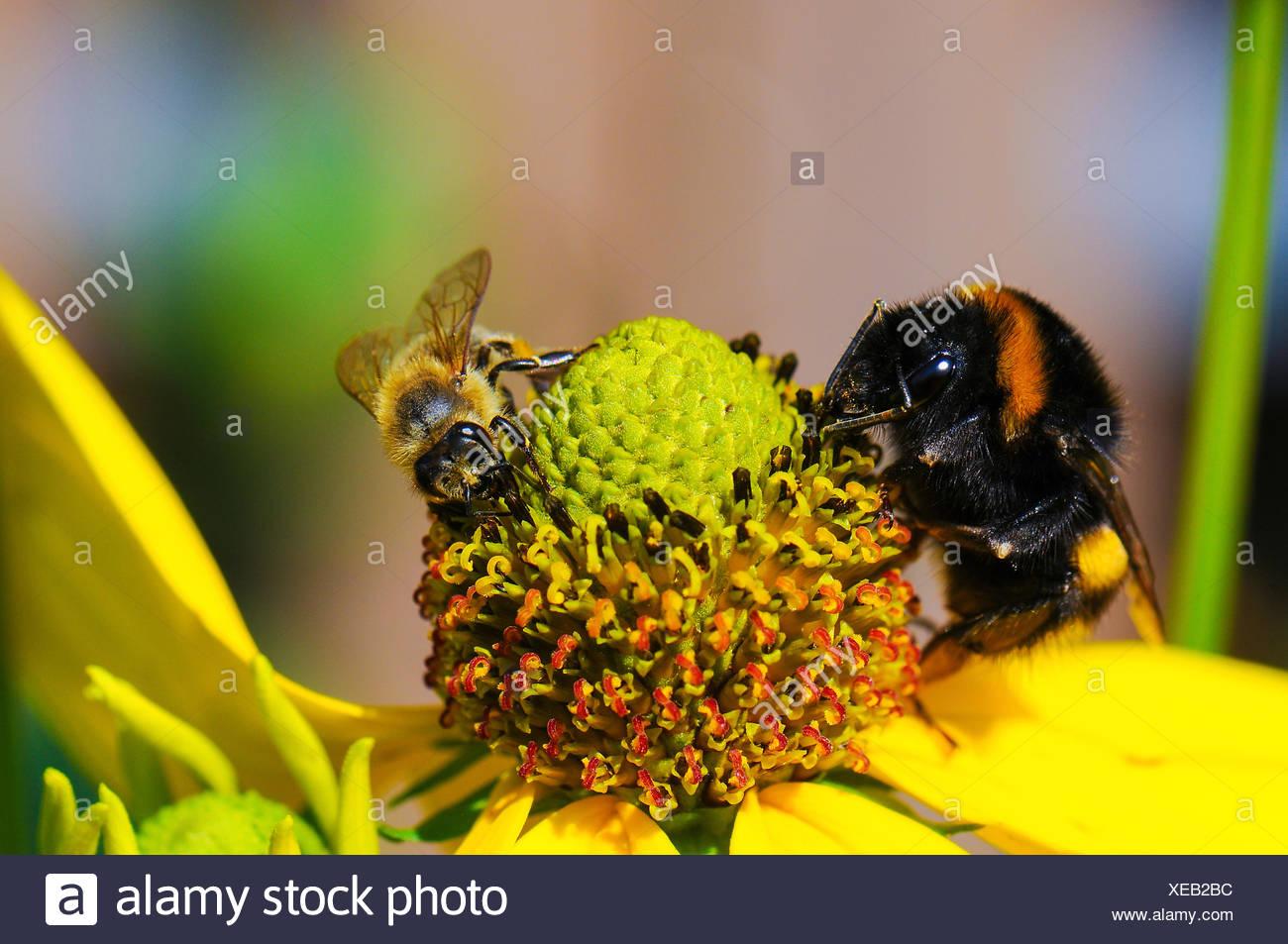 Bee y bumblebee en flor Imagen De Stock