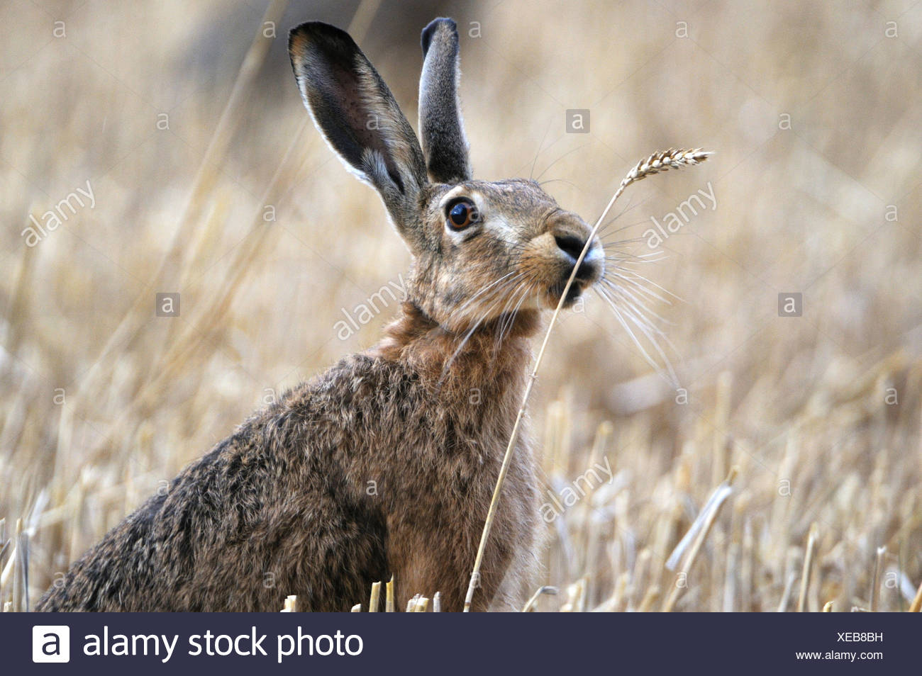 Conejo liebre Lepus europaeus Pallas conejito liebre Marrón Luz campo de rastrojo de alimentación en verano cosecha el grano-campo maizal anim Imagen De Stock