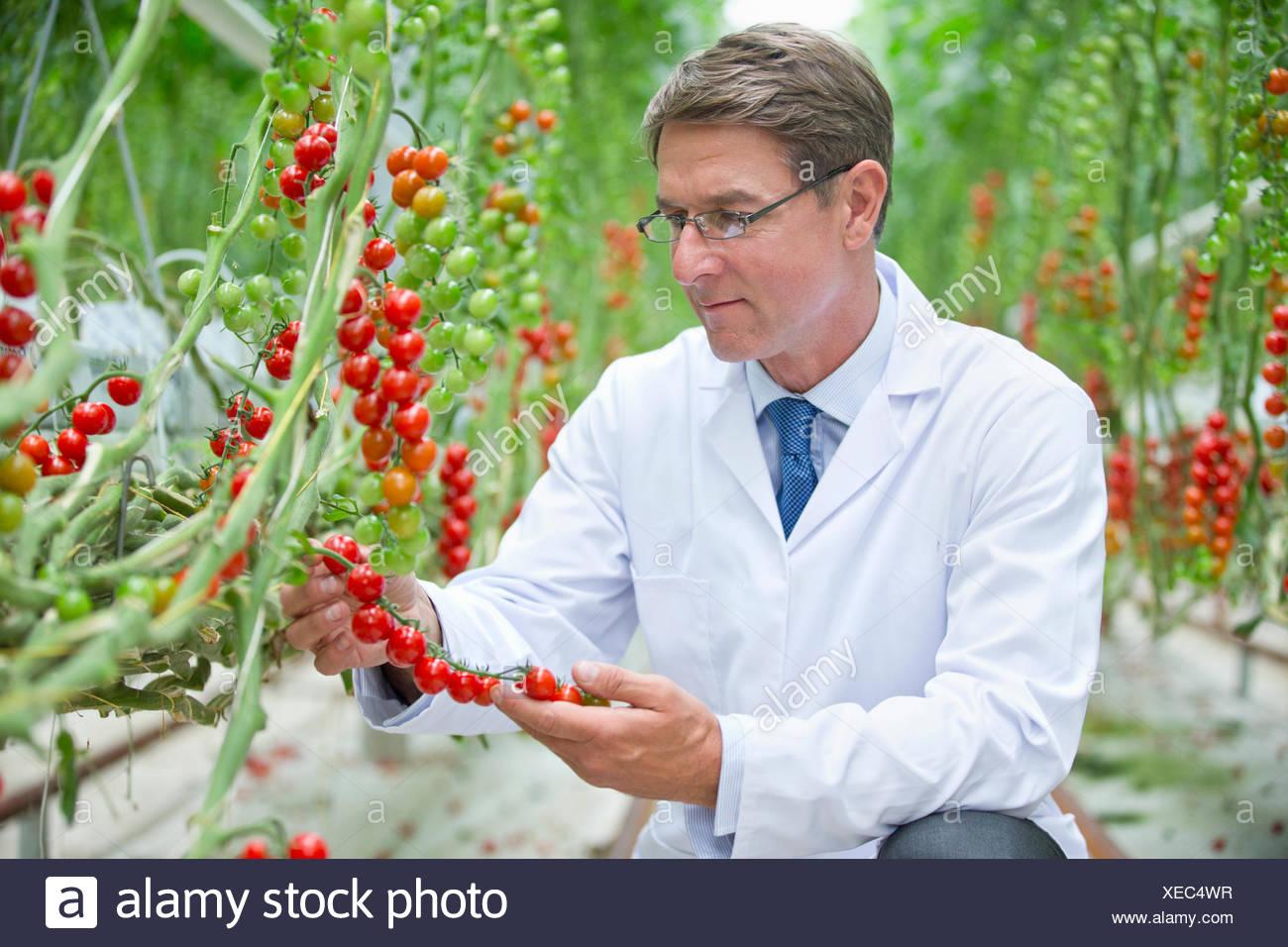 El examen científico de alimentos de plantas de tomate de vid roja madura Imagen De Stock